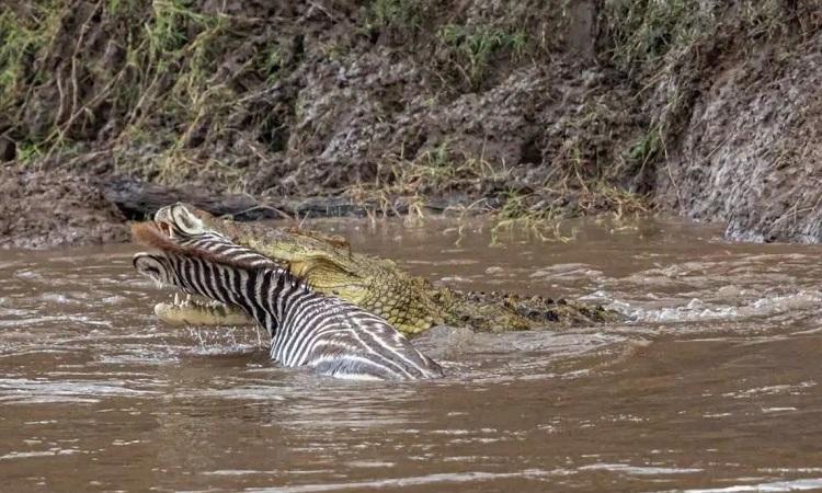 Cá sấu lôi cổ ngựa vằn để ăn thịt. Ảnh: Sun.