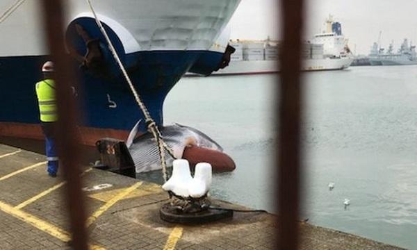Xác cá voi sẽ được kiểm tra kỹ để xác định nguyên nhân tử vong. Ảnh: BBC.