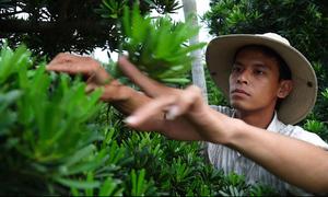 50.000 cây vạn niên tùng phục vụ Tết