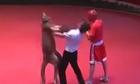 Trọng tài và võ sĩ bị Kangaroo tung đòn hiểm hạ gục trên sàn đấu