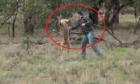 Kangaroo bị đánh vì tấn công chó nhà