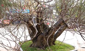 Đào rừng cho thuê giá 150 triệu