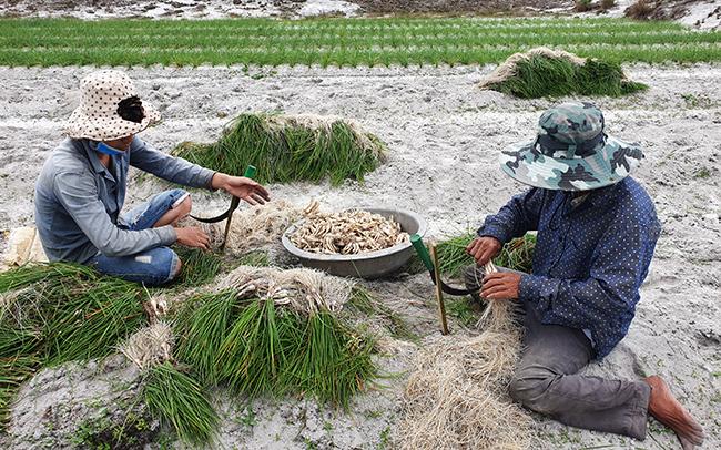 Hai cha con ông Trần Bích cắt bỏ lá, rễ lấy củ kiệu bán. Ảnh: Đắc Thành.