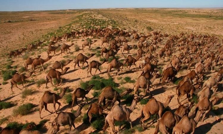 lạc đà hoang trên sa mạc Simpson ở miền trung Australia. Ảnh: News.com.au.