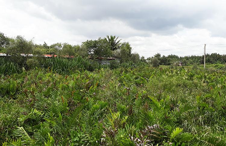 Nông trường dừa ở quận 9 trước đây được giao choCông ty TNHH MTV Dịch vụ Du lịch Thủ Đức (thuộc Tổng công tyDu lịch Sài Gòn) quản lý. Ảnh: Trung Sơn