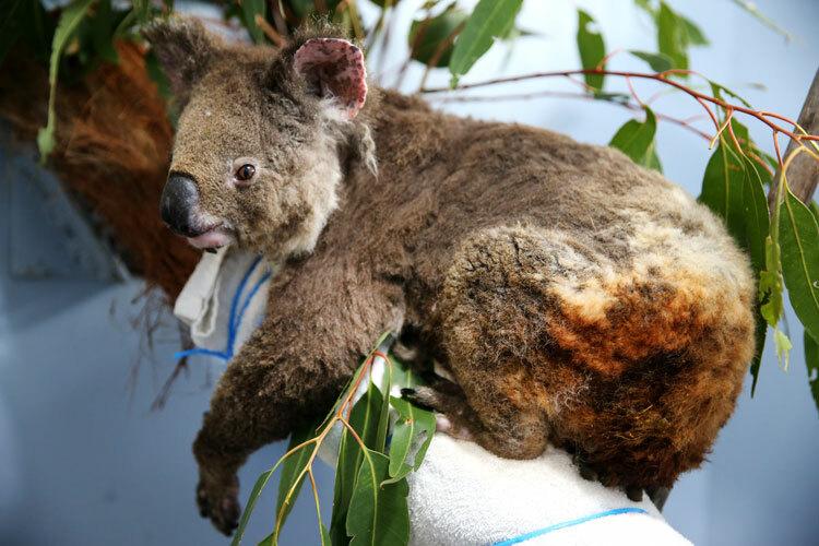 Anwen, một con gấu túi cái, hồi phục sau khi bị bỏng tại Bệnh viện Port Macquarie Koala ở Port Macquarie, Australia, vào ngày 29/11/2019. Ảnh:Billy Edwards /Getty.