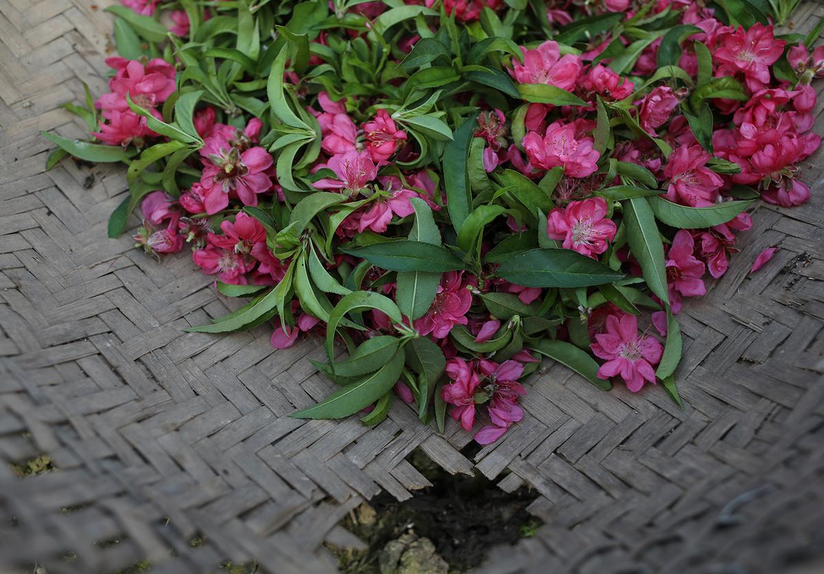 Hoa đào nở sớm