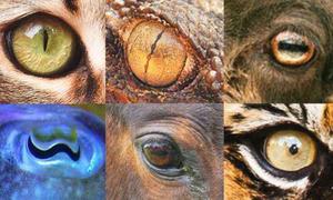 Lý do hình dạng con ngươi các loài động vật khác nhau