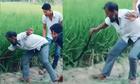 Màn bắt rắn khủng gây kinh động ruộng lúa