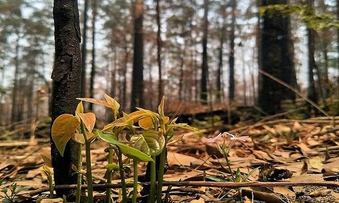 Cây cối đâm chồi sau đám cháy. Ảnh: Facebook.
