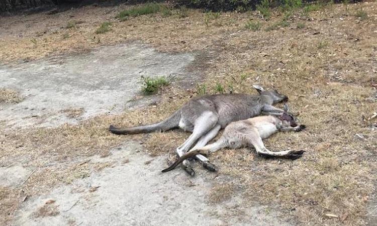 Bác sĩ Barton quyết định bắn chết bầy kangaroo bị bỏng nặng để tránh cho chúng phải chịu cái chết chậm đau đớn. Ảnh: CNN.