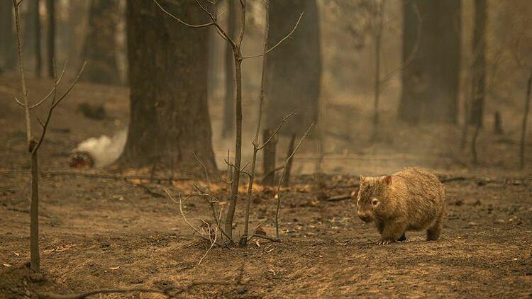 Những loài động vật còn sống sót sau cháy rừng như loài gấu túi sẽ phải cạnh tranh khốc liệt để tìm thức ăn. Ảnh: Wolter Peeters