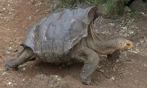 Rùa đực trăm tuổi 'nghỉ hưu' sau khi đẻ 800 con