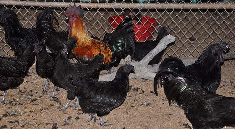 Đàn gà Mông đen hơn 2.000 con của anh Hải đã được khách hàng đặt mua hết. Ảnh: Lê Hoàng.