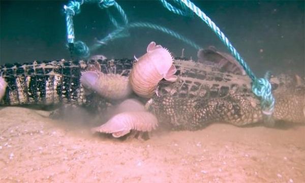 Xác cá sấu trở thành bữa tiệc thịnh soạn cho các loài ăn xác thối dưới đáybiển. Ảnh: Geek.