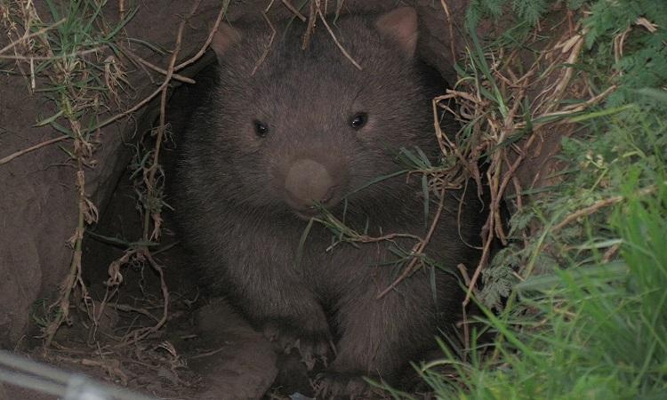 Cấu trúc hang của gấu túi mũi trần có tác dụng chống cháy tốt. Ảnh: Unilad.