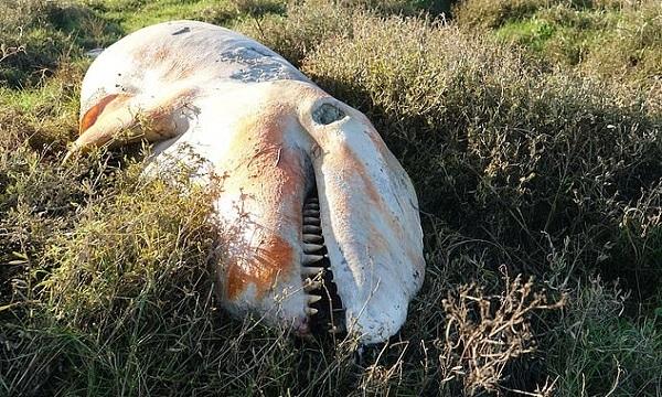 Con cá voi sát thủ chết ở vịnh The Wash. Ảnh: Mirror.