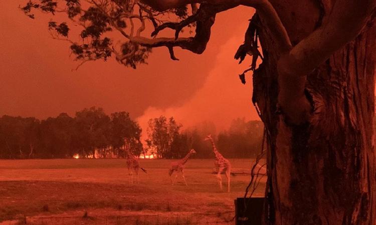 Những con hươu cao cổ lang thang trên bãi cỏ tại Công viên Động vật Hoang dã Mogo, bang NSW, Australia gần một đám cháy. Ảnh: The Australian.