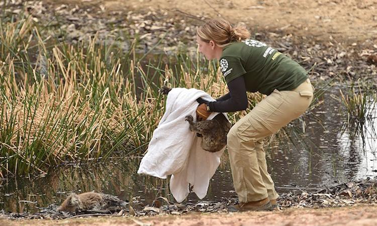 Kelly Donithan mang con koala bị thương về chăm sóc. Ảnh: News.com.au.
