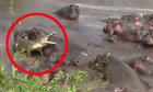 Cá sấu lao đao vì bị đàn hà mã lấy thịt đè người