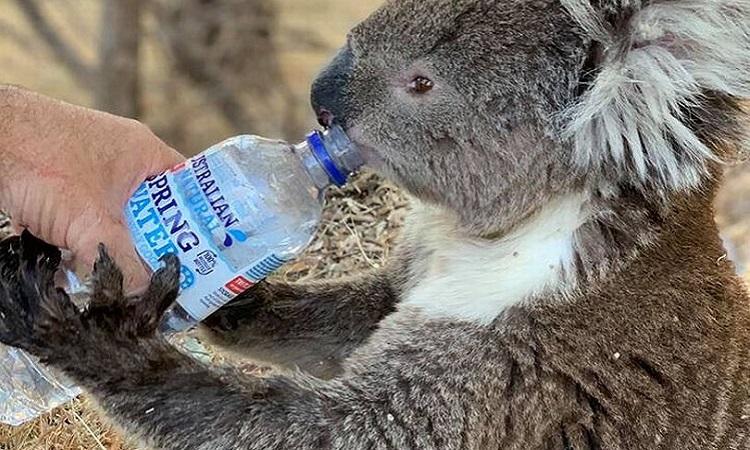Gấu koala chết sau nỗ lực giải cứu. Ảnh: Reuters.