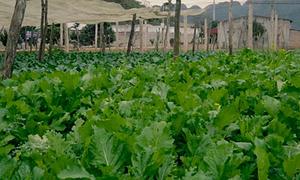 Rau cải Mèo Sơn La