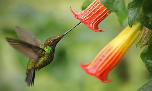 Loài chim ruồi có mỏ dài hơn thân