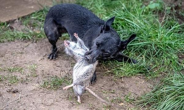Chó sục giết chuột thành thạo. Ảnh: SWNS.
