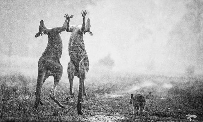 Nhiếp ảnh gia cho biết hai con kangaroo đang đánh nhau thay vì mừng mưa rơi như bài đăng trên mạng. Ảnh: Yahoo.