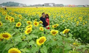 Vườn hướng dương 2 ha hút khách chụp ảnh Tết