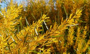 Rừng keo lá tràm vàng rực ven biển