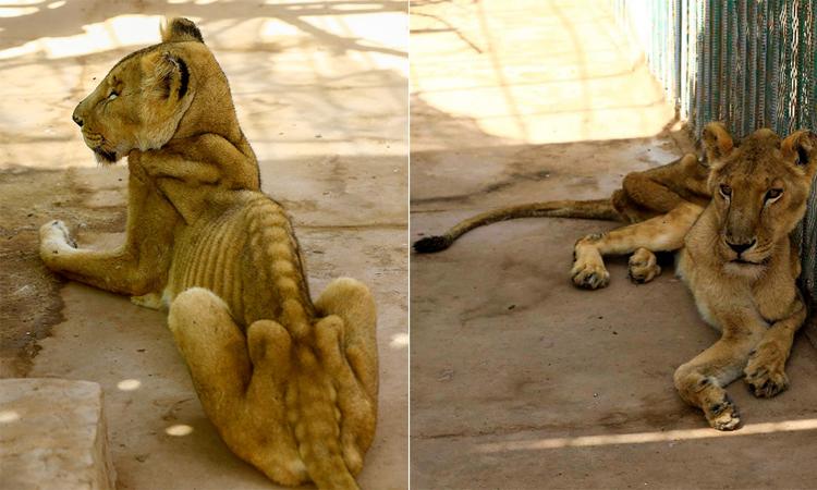 Sư tử gầy trơ xương do thiếu thức ăn và thuốc suốtnhiều tuần. Ảnh: Sun.