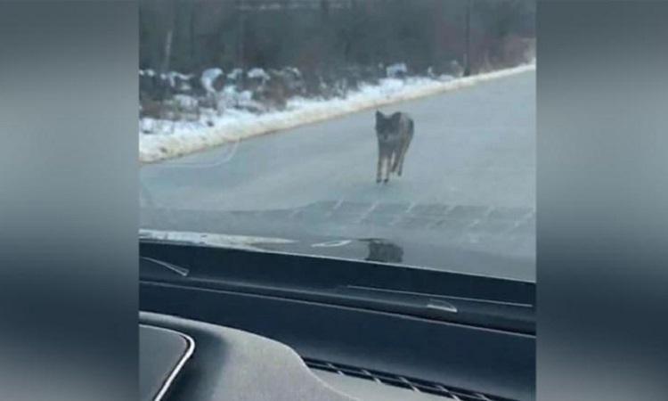 Con chó sói đồng cỏ xuất hiện trước đầu xe của Ian OReilly. Ảnh: CNN.