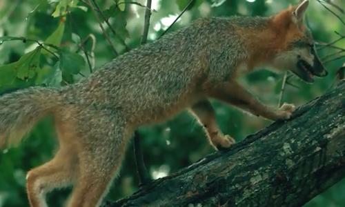 Loài cáo duy nhất có thể trèo cây thẳng đứng