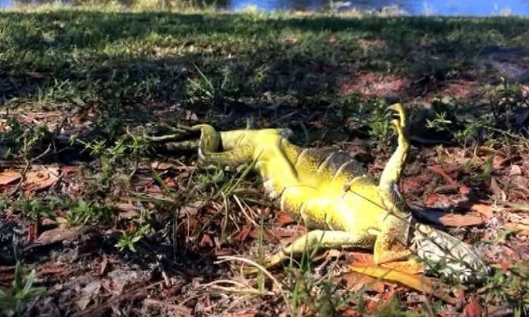Cự đà rơi trên bãi cỏ ở Florida vào mùa đông năm ngoái. Ảnh: CNN.