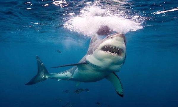 Cá mập trắng tấn công hai ngư dân để đoạt thức ăn. Ảnh: Newsweek.