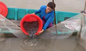 Thu hoạch cá kèo bán Tết