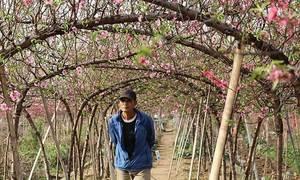Người trồng đào lo lắng vì hoa nở sớm