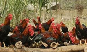 Mô hình chăn nuôi gà đồi ở Phú Thọ