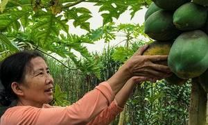 Vườn đu đủ hữu cơ