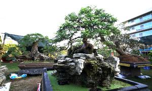 Vườn cây kiểng tiền tỷ ở Phú Mỹ Hưng