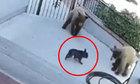 Cún con đuổi hai gấu xám chạy trối chết