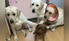 Cún con chịu trận vì bị vạch mặt ăn vụng xúc xích