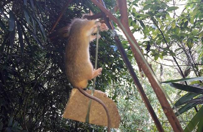 Một chuột đính loại bẫy đập. Ảnh: Đắc Thành.