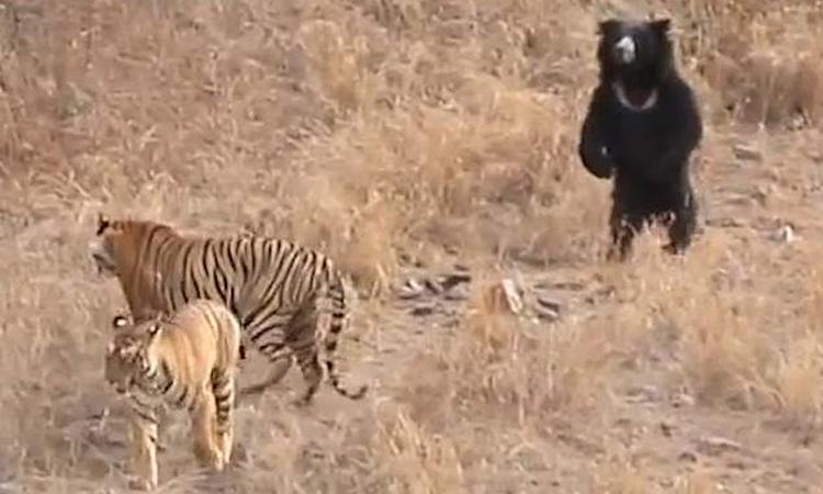 Gấu lợn đứng thẳng dọa hổ bỏ chạy