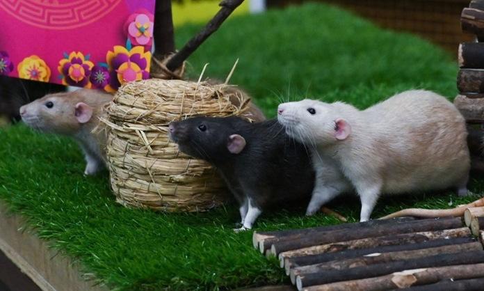 Những con chuột được trưng bày tại sở thú Rainforest Kidz World ở Singapore hôm 21/1. Ảnh: Roslan Rahman/AFP.