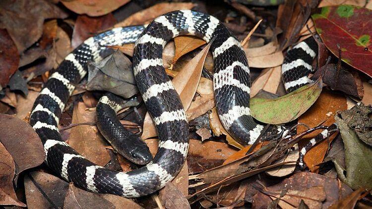 Một số nhà nghiên cứu cho rằng virus Vũ Hán có nguồn gốc từ loài rắn sọc sinh sống nhiều ở châu Á. Ảnh: nature