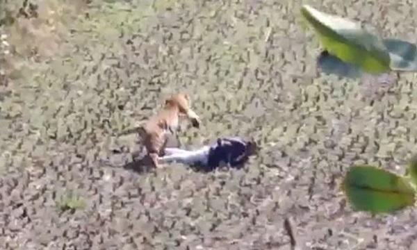 Hổ bỏ tấn công khi thấy người đàn ông giả chết