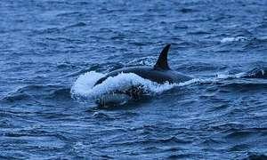 Google dùng trí tuệ nhân tạo bảo vệ cá voi