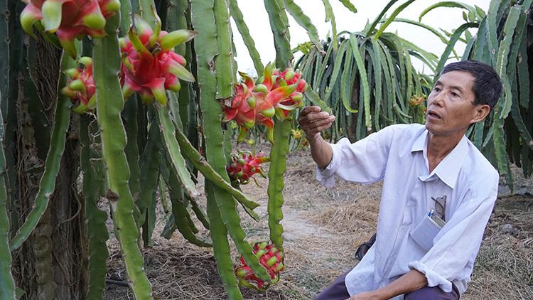 Ông Trần Văn Lý thất thần bên 0,5 ha thanh long chín nhưng không ai thu mua. Ảnh: Hoàng Nam